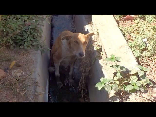 Dog with double fractures of hind legs rescued and runs again.
