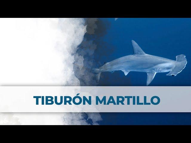 2 Little Divers | Tiburones Martillo Daedalus Reef