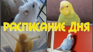 Расписание дня моих животных  Хомяк, попугаи, улитки
