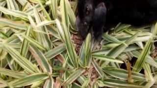 "Besouro ataca e mata Pássaro Preto (anu)-""Beetle attacks and kills Black Bird"""
