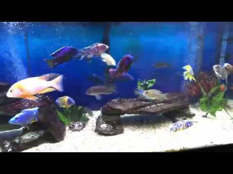 75 GALLON AFRICAN CICHLID ALL MALE SHOW TANK(UPDATED)