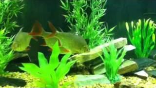Community aquarium with  Large tinfoil barbs