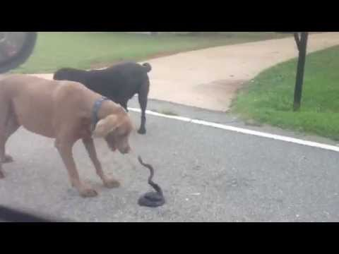 Neighborhood dogs barking at a black snake