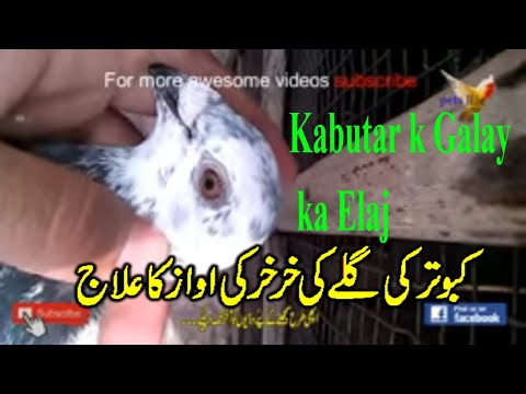 HOW TO SAFE PIGEON BIRD FROM (DISEASES) AMAIZING VACCINE