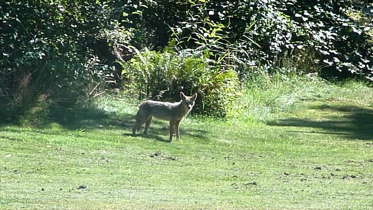 Coyote hunting in backyard - YouTube