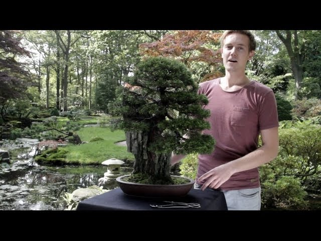 Juniper Bonsai Youtube