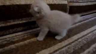 Шотландский вислоухий котенок кремового окраса в 1 мес.