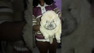 ANSHU.DOG.CARE 9716929043 chow chow puppy for sale