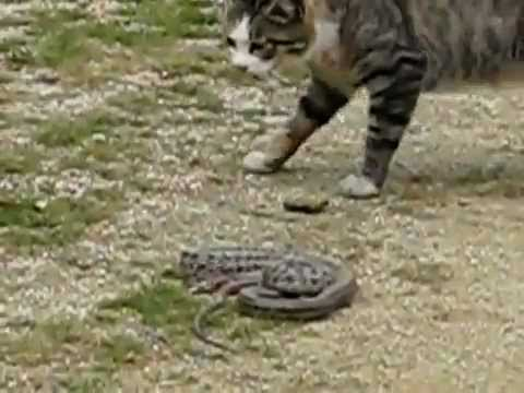 cat killing the snake(cat vs snake)