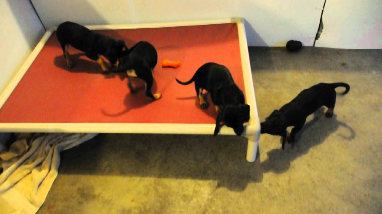 Rescue pups - doxi doxie beagle chihuahua mix? puppies rescued