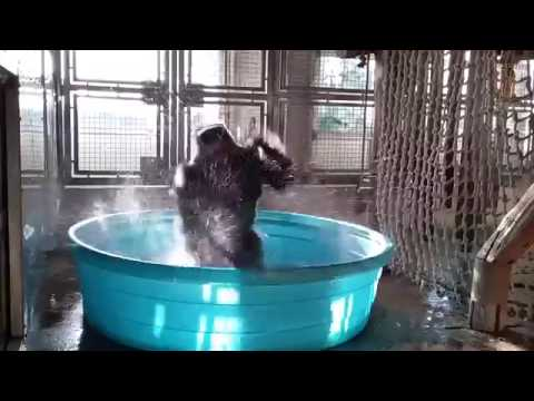 Gorilla dancing to Maniac in a pool