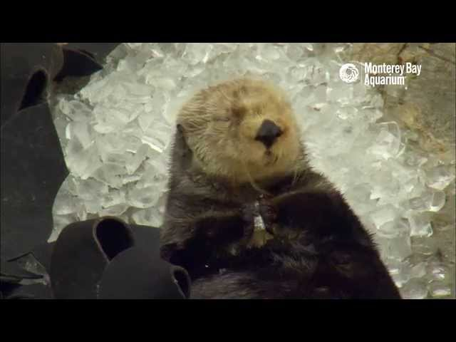 Otter in Ice Cubes: A Monterey Bay Snow Day!