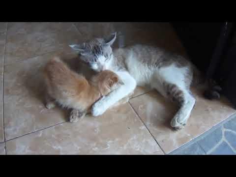 Kucing Boeny