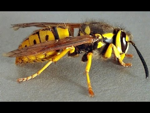how to kill a nest of hornets - wasps trap - youtube