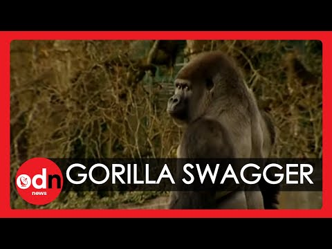Gorilla learns to swagger like a man