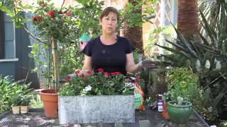 How to Increase a Rose's Flowering With Food : Garden Space