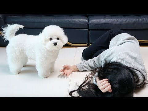 Faking my Death In Front of My Dog! (Fun Bichon Reaction!)