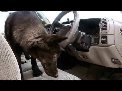 Getting A Wolf Used To A Car (desensitization and lots of patience)