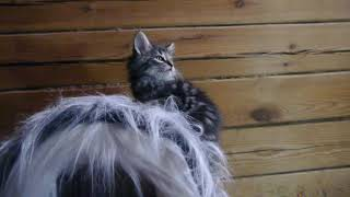 Норвежский лесной котенок Яхонт Yahont On Fashion Peak, 1,5 месяца