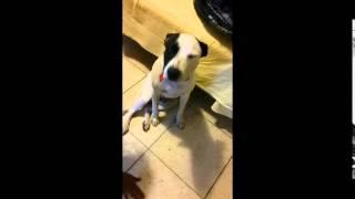 Trained American Bulldog