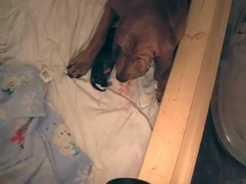 Bloodhound Having Puppies