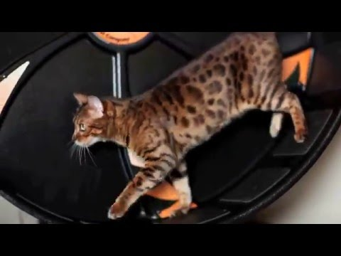 Flash and Pixel on Their New Wheel - Bengal Cats at Play