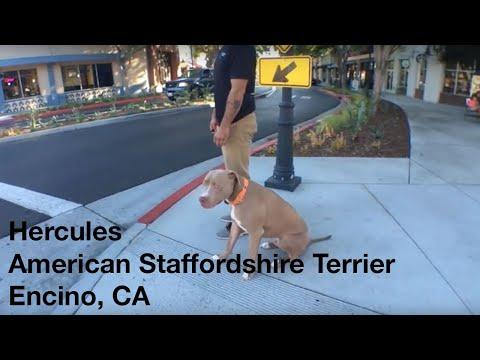 Hercules | American Staffordshire Terrier | Encino, CA