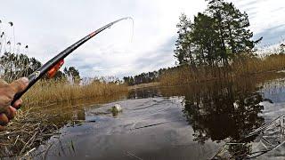 БЕШЕНЫЙ КЛЁВ КАРАСЯ НА ДИКОМ ЛЕСНОМ ОЗЕРЕ Карась весной Рыбалка на карася Ловля карася весной