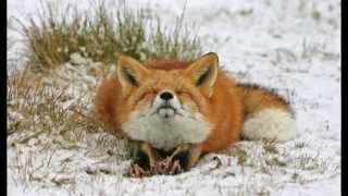 Красивые фотографии ЛИСЫ Beautiful pictures FOX