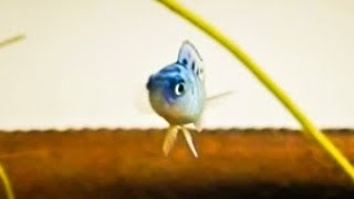 African Cichlid Fry Care - How to raise healthy baby African Cichlids