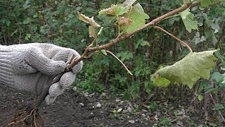 Осенняя посадка саженцев виноградачем она хороша