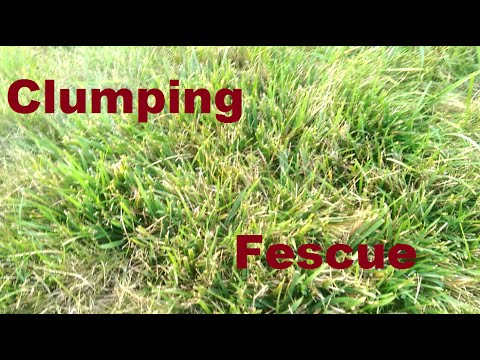 Clumping Fescue What To Do Youtube