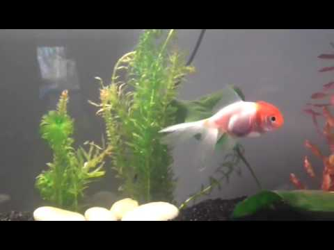 Pompon poisson rouge queue de voile youtube for Poisson rouge queue de voile