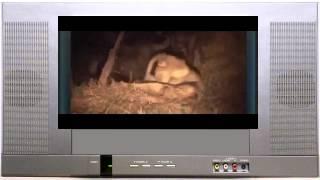 Буйволы атакуют льва(Африканская дикая природа Дикая природа Серенгети Дикие животные Слон нападает на людей Видео атаки слона..., 2014-06-02T07:55:22.000Z)