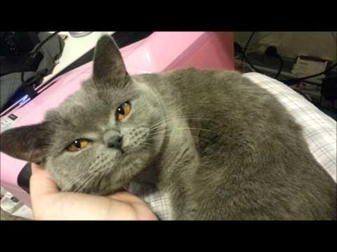 British Shorthair Kittens for Sale - Adoptapet com