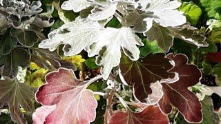 국화 가을이 /꽃대신 단풍/잎에 하얀분이나와 뽀얗게 예…