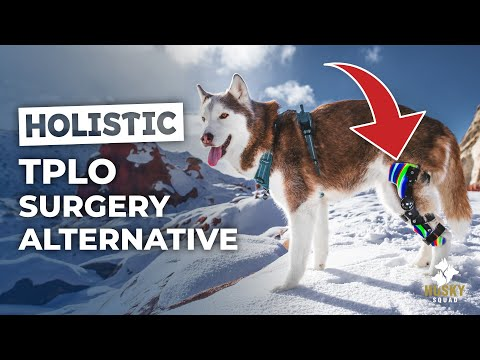 Dog ACL Recovery Without Surgery | HUSKY SQUAD Vlog