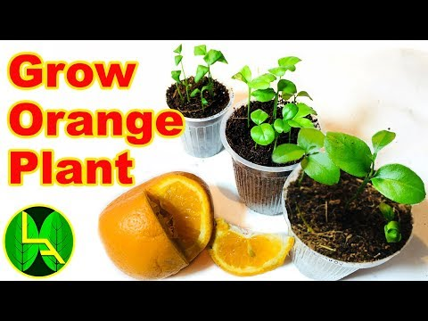 How to grow orange plant at home in easy steps.