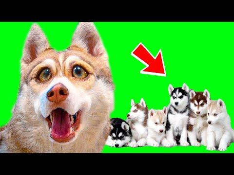 Я СНОВА ПАПА! ПОКАЗЫВАЮ ЩЕНКОВ! (Хаски бублик) Говорящая собака Mister Booble