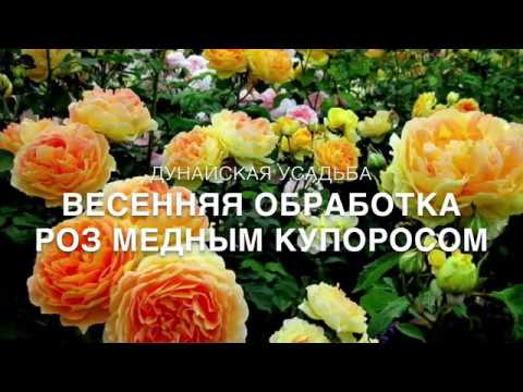 Весенняя обработка роз медным купоросом