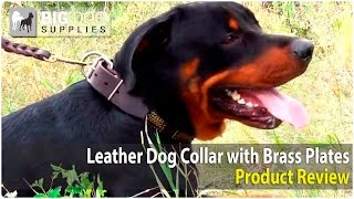Rottweiler And Other Big Dogs Wearing Dog Collar With Vintage Dotted Plates