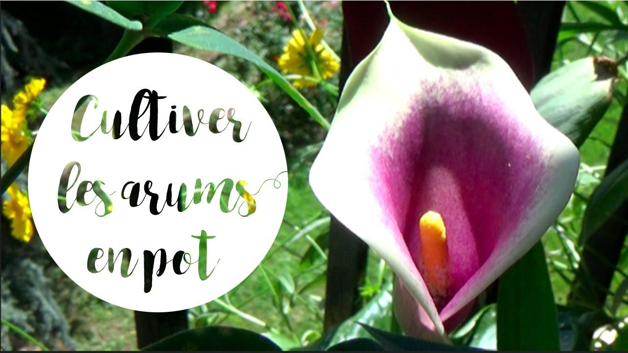 culture et entretien des arums en pot pour une belle floraison - youtube
