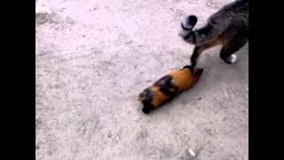 Как мой кот гуляет с морской свинкой.