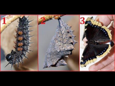 Вопрос: Растут ли мотыльки в процессе жизни?
