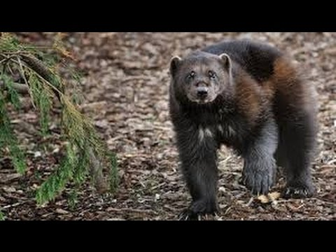 The Documentary BBC about Wildlife Wolverine Animal Documentary Full, Discovery Channel