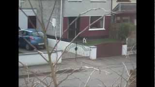 Coco The Springer Spaniel Goes Mental For A Walk
