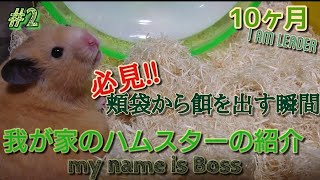 Introduction to my hamster. Leader in ♂boy hamster. It has been 10 ...