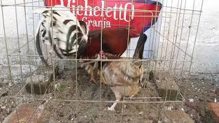 ✓ Gallos de pelea Whitehackle - 3 razas Gilkerson, Morgan