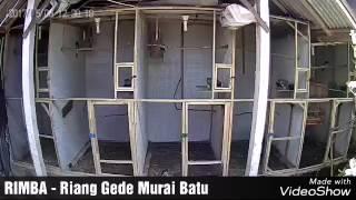RIMBA BF - Penangkaran Murai Batu Medan Di Tabanan - Bali. WA : 081234569329