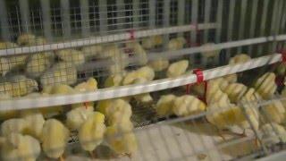 Презентационный фильм птицефабрики «Казгер-Кус»(Видеоролик создан компанией